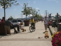 Dogs focused on handlers with bicycle distraction