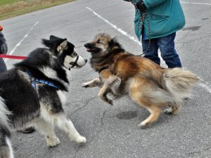 The Malamute is moving forward as the Tuverian Shepherd is moving away.  These two dogs have very differnt playstyles as they are beginning to discover.